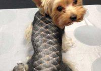 Fresh 100 yorkie haircuts for males females yorkshire terrier Yorkshire Terrier Haircuts Short Choices