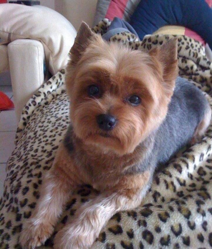 Permalink to 10 Elegant Yorkshire Terrier Haircuts Short